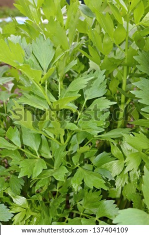 lovage leaves in a kitchen garden