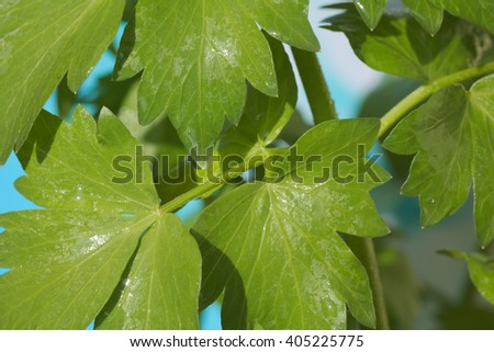 Lovage leaves - Levisticum officinale - stock photo