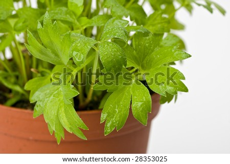 lovage plant isolated on white
