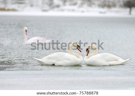 love and fidelity of the swans, two is company, but three is none - stock photo