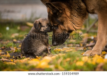 love between puppy and german shepherd - stock photo