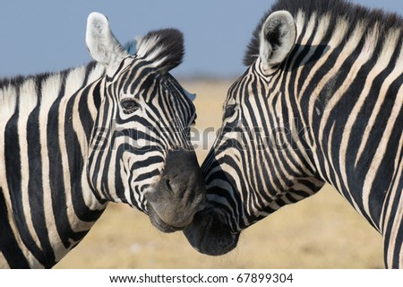 Love between two zebras, Etosha National park, Namibia - stock photo