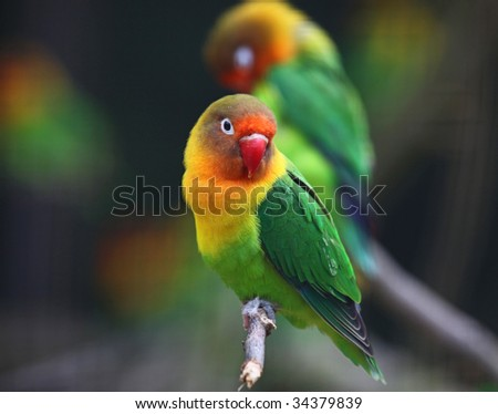 love birds , Agopornis fischeri - stock photo