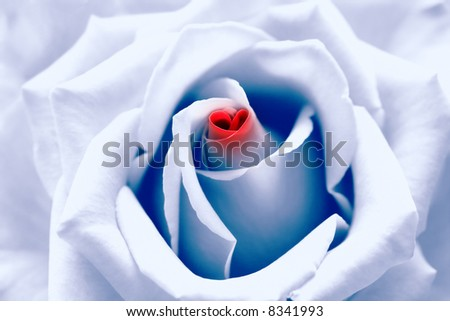 "Love birth. Light blue toned rose with red heart symbol from petal in center. Look like ""I love you"" message where ""love"" replaced by heart symbol. Good for Valentine's day card and much more... - stock photo"