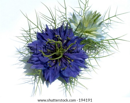 Love in a Mist - stock photo