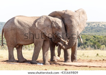 Love is in the air - The African bush elephant is the larger of the two species of African elephant. Both it and the African forest elephant have in the past been classified as a single species.