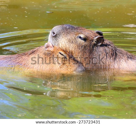 Love making couple of The Capybara  (Hydrochoerus hydrochaeris ), largest rodent in the world. - stock photo