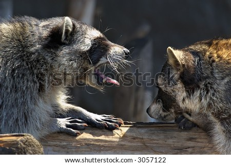 Love marriage games of raccoons-young animals in  spring - stock photo
