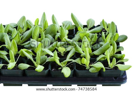 love my homegrown lettuce! seedlings in boxes on a white background - stock photo