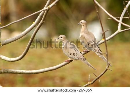 Love Pidgeons - stock photo