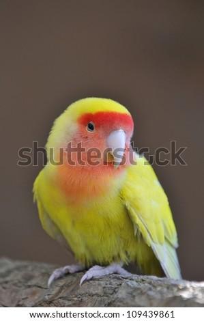 Lovebird. - stock photo