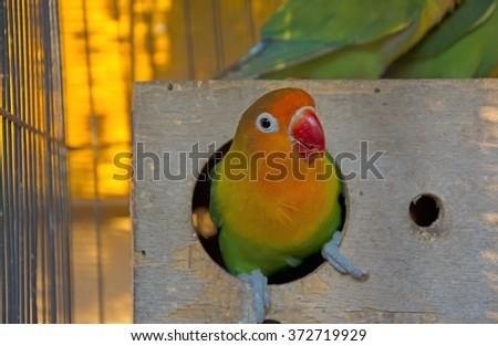 Lovebird in bird's nest - stock photo