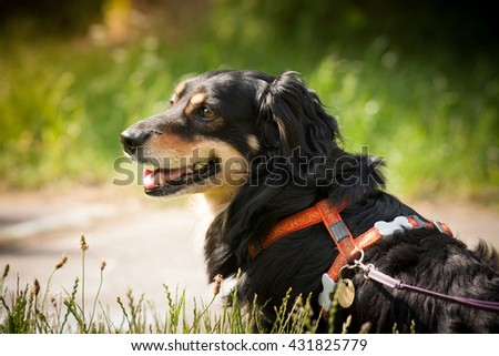 Lovely and cute dog with funny face. Interesting dog breed. Dog photography outdoor. Dog for dogs sport - agility, obedience, frisbee, hunting. Animal shot capturing dog. Dog breed Daschund. - stock photo