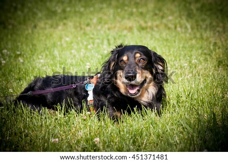 Lovely and cute dog with funny face. Interesting dog breed. Dog photography outdoor. Dog for dogs sport - agility, obedience, frisbee, hunting. Animal shot capturing dog. - stock photo