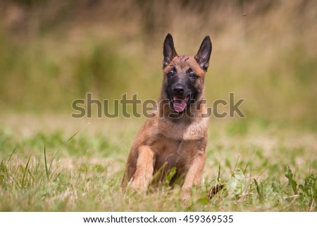 Lovely and cute dog with funny face. Interesting dog breed. Dog photography outdoor. Dog for dogs sport - agility, obedience, frisbee, hunting. Animal shot capturing dog. Belgian shepherd Malinois.  - stock photo