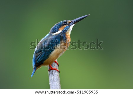 Lovely beige and blue bird, Common Kingfisher (Alcedo atthis) looking up sky while other bird passing by while perching on the pole and fishing in stream, fascinated nature