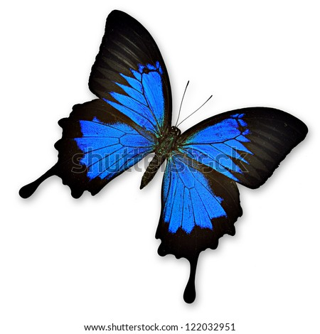 Lovely black and blue butterfly isolated - Papilio ulysses ampelius - stock photo