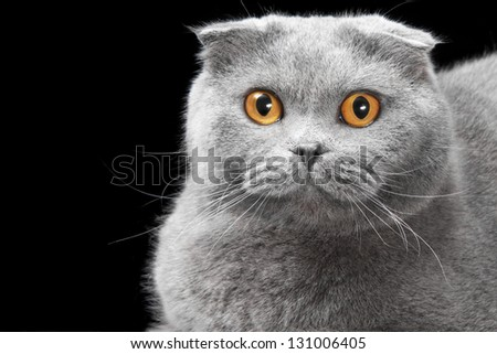 lovely blue scottish fold cat with golden eyes on black background