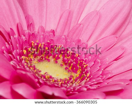 lovely bright pink gerbera flower with fluffy petals and yellow center fluffy - stock photo