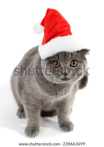 Lovely British cat in Christmas hat isolated on white - stock photo
