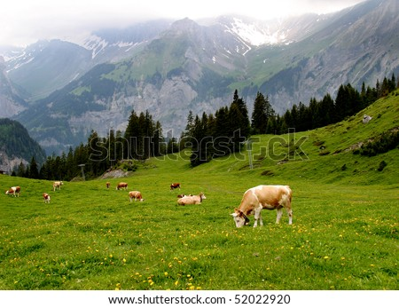 Lovely brown and white cows wearing bells are grazing in a beautiful green meadow in the Swiss alps - stock photo