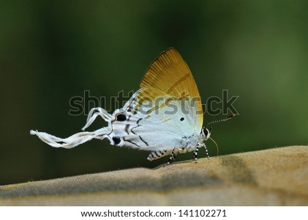 Lovely Butterfly (Fluffy Tit), thailand - stock photo