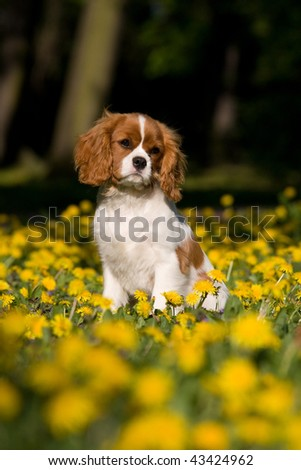 Lovely Cavalier King Charles spaniel  puppy sitting in dandelion - stock photo