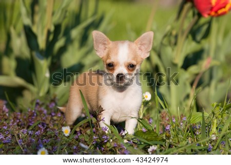 Lovely chihuahua puppy with flowers