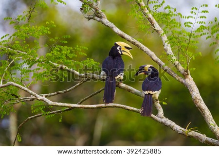 Lovely coupleOriental pied hornbill(Anthracoceros albirostris)  in nature at Kengkracharn National Park,Thailand - stock photo
