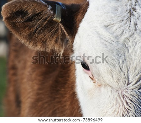 Lovely detailed close up of cow's eye and top front of head - stock photo