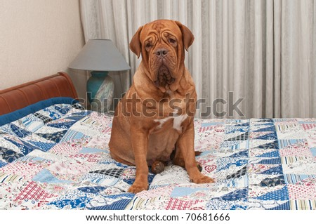 Lovely Dogue De Bordeaux puppy sitting on the bed with handmade patchwork quilt - stock photo
