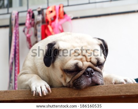 lovely fat white pug head shot close up lying on a wooden table making sad face close his eyes under morning light waiting for walk with some dog collars hanging blur on windows frame as background  - stock photo