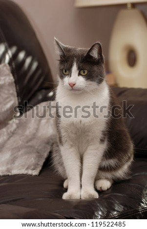 Lovely fluffy cat sitting on the leather coach - stock photo