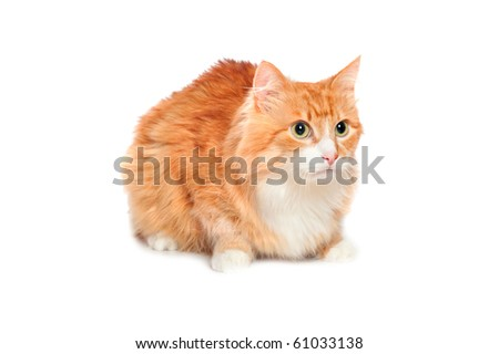 Lovely fluffy red cat. Isolated on white