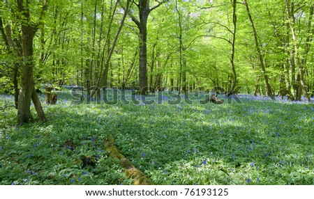 Lovely fresh colorful image of bluebell woods in Spring - stock photo