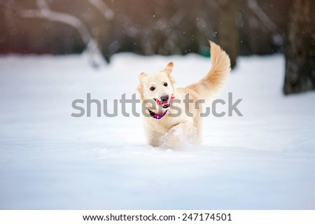 Lovely funny purebreed dog running with toy in winter