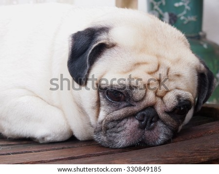 lovely funny white cute fat pug dog close up laying on a wooden chair making funny face outdoor under natural sunlight