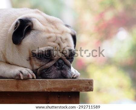 lovely funny white cute fat pug dog close up laying on a wooden table making sad face - stock photo
