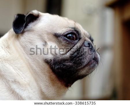 lovely funny white cute fat pug dog close up making funny face side view profile portraits  - stock photo
