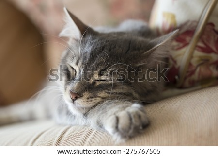 lovely grey cat (kitten) sleeping on sofa - stock photo
