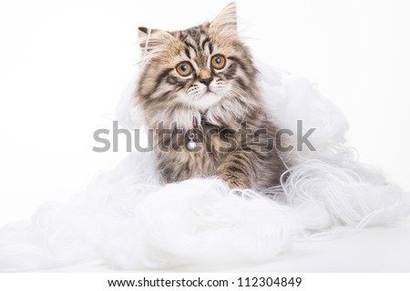 Lovely grey persian kitten playing in woolen yarn on white background - stock photo