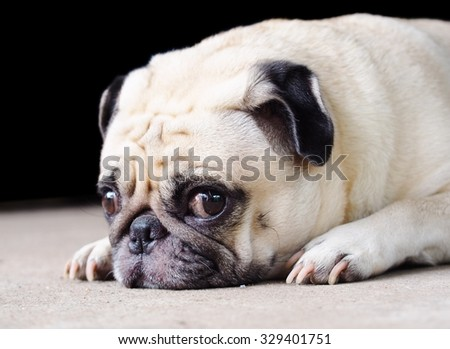 lovely happy white fat cute pug dog laying on the grey color concrete garage floor making funny face under morning sunlight die-cut isolated on dark background