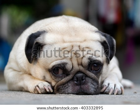 lovely happy white fat cute pug dog laying resting outdoor in home garden floor under warm summer sunlight making funny face