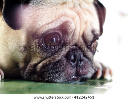 lovely happy white fat cute pug dog portraits laying on the home garden floor under warm summer sunlight making funny face with home outdoor surrounding bokeh background