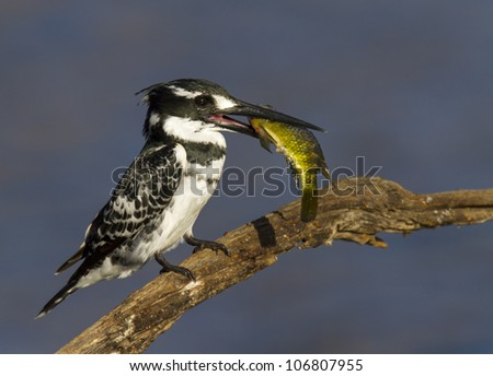 Lovely image of a Pied Kingfisher with a colorful fish catch - stock photo