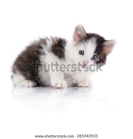Lovely kitten, white with spots, on a white background. - stock photo