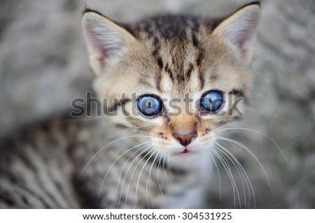 lovely kitty with blue eyes on the blurred background - stock photo