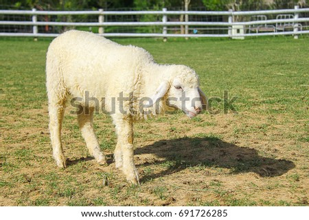 Lovely lamb, green grass