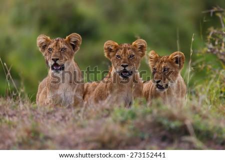 Lovely Lion cubs of Rekero Pride in Masai Mara, Kenya - stock photo