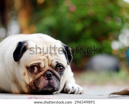lovely lonely white fat cute pug dog laying on the concrete garage floor making sadly face with home outdoor surrounding bokeh background under morning sunlight - stock photo